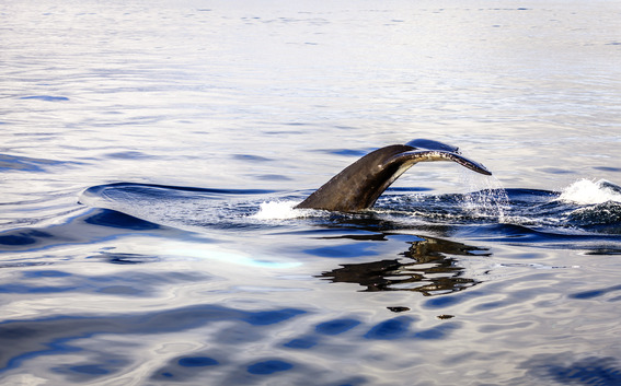 Diving humpback whale in the Skjálfandi Bay in Northern Iceland